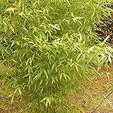 50 Golden Bamboo Seeds Phyllostachys Aurea Fish Pole Bamboo Seeds USA Seller Active