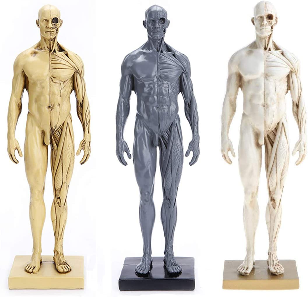Amazon Com Shuai 11 Inch 30cm Male Anatomy Figure Human Muscle Skeleton Anatomical Model Painting Sculpture Anatomical Reference For Artists 3 Pieces Sports Outdoors