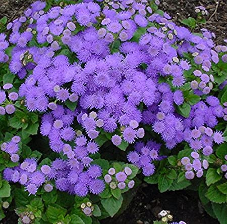 Pink Blue Flower seeds Ageratum White Mix Flossflower Red Annual.