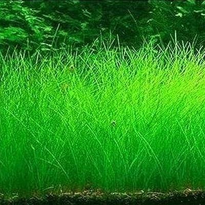 Semillas de plantas acuáticas para acuarios, semillas de césped de ...