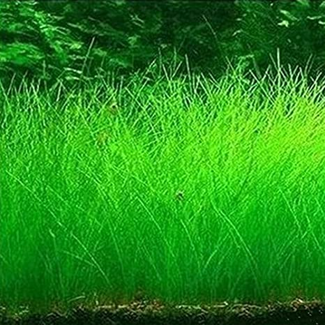 Rosepoem Semillas de la planta de agua Glossostigma Hemianthus callitrichoides acuática hierba del agua del acuario Decoración primer plano: Amazon.es: ...