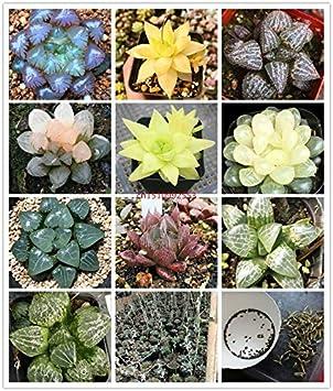 Piante grasse in vaso carnose brillanti piante verdi Haworthia Cooperi Yulu Truncata Sementi di fiori Lithops Pseudotruncatella Semi 100 Pz 5