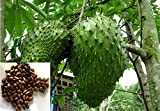 12 Seeds of Rare and Precious Annona Muricata Graviola Soursop Tree for Growing