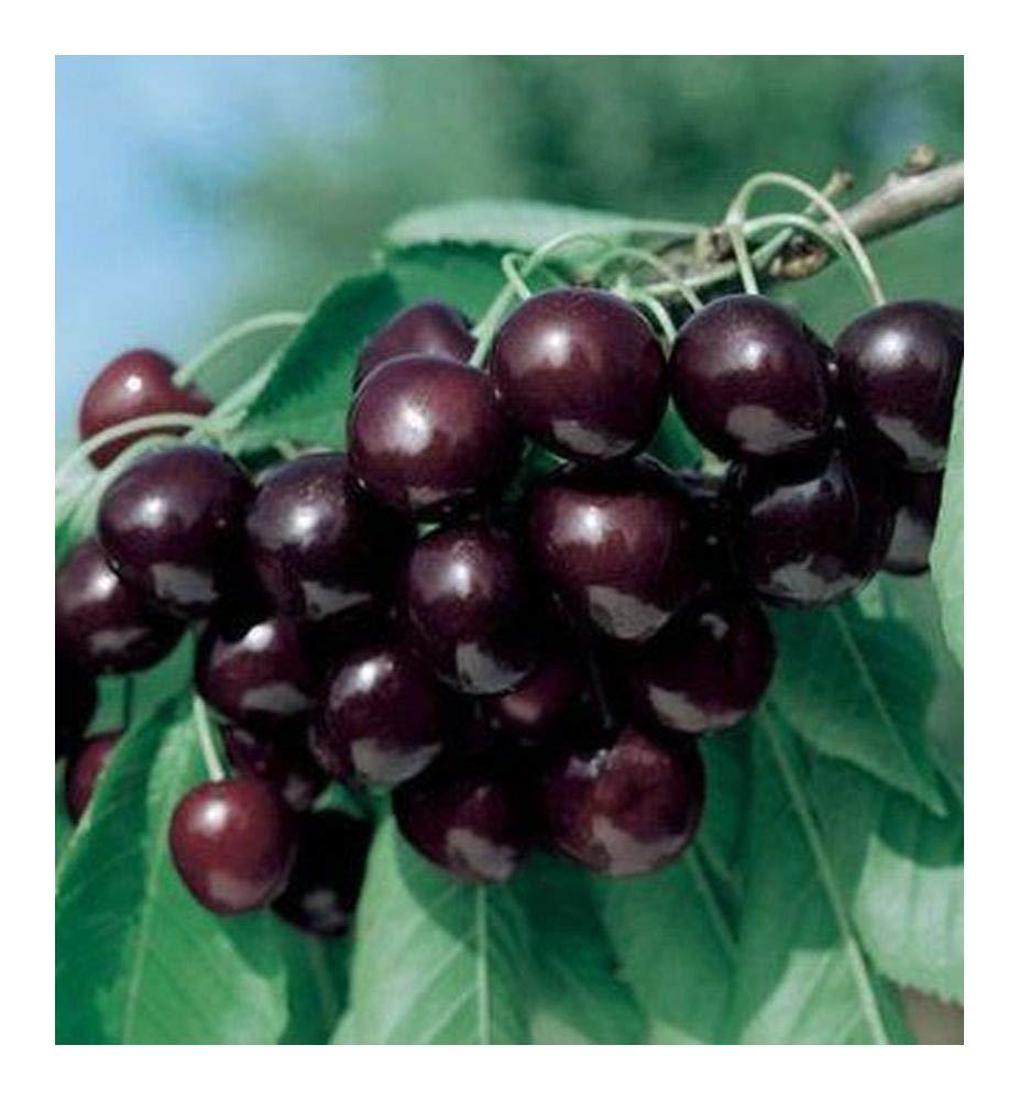 Prunus serotina subsp. serotina - Black Cherry - 20 seeds Exotic Plants