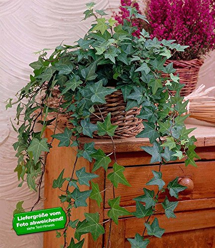 BALDUR-Garten Efeu, Zimmerefeu 1 Pflanze Hedera helix