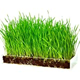 Organic Wheatgrass Growing Kit with Style - Plant an Amazing Wheat Grass Home