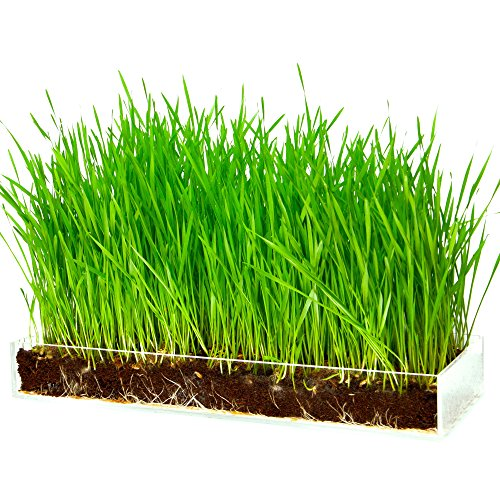 Organic Wheatgrass Growing Kit with Style – Plant an Amazing Wheat Grass Home Garden, Juice Healthy Shots, Great for Pets, Cats, Dogs. Complete with Stunning Tray and Accessories. Great Gift. ()