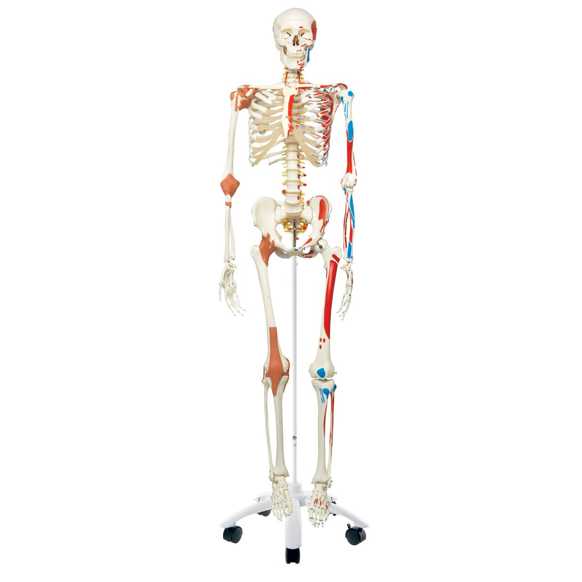3B Scientific A13 Plastic Super Human Skeleton Model ''Sam'' - Flexible with Muscles and Ligaments On a Pelvic Mounted Stand, 66.9'' Height