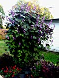 10 Seeds Hyacinth bean vine (Dolichos lablab) by Seeds and Things