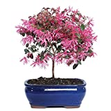Brussel's Fringe Flower Bonsai - Medium - (Outdoor)
