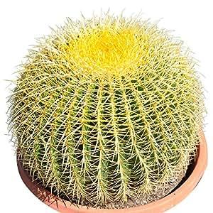 ' Golden Barrel' 14'' Plus Echinocactus Grusonii Cactus Specimen Very Large Drought Tolerant Plant