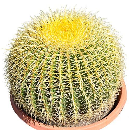 Golden Barrel' 14'' Plus Echinocactus Grusonii Cactus Specimen Very Large Drought Tolerant Plant by THE NEXT GARDENER (Image #7)