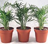 Victorian Parlor Palm - Chamaedorea - 4'' Pot - 3 pack Live Plant unique from jmbamboo