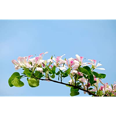 Vintage 10 Seeds -Pink Orchid Tree -Butterfly Shaped Leaves - Stays Small -Bauhinia Monandra : Garden & Outdoor