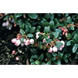 "Berried Treasure Box Huckleberry - Gaylussacia - Blueberry Like Fruit - 4"" Pot"