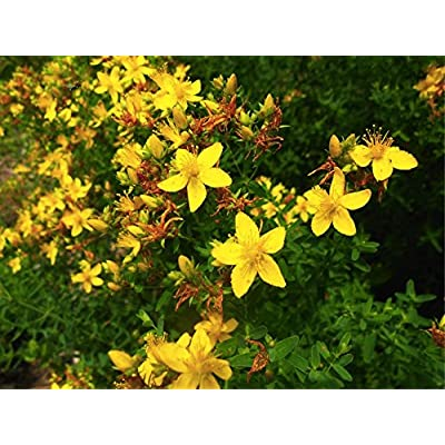 St. John's Wort (Hypericum Perforatum L.)Perennial Herbal Heirloom Plant, 3600 Seeds : Garden & Outdoor