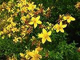 St. John's Wort (Hypericum Perforatum L.)Perennial Herbal Heirloom Plant, 3600 Seeds