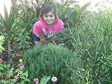 Rosemary 1/2 OZ Grow Your Own Heirloom Aromatic Herb