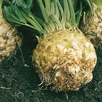 Seeds Spice Celery Root Monarch. Large Organic from Ukraine 0.5 Gram : Garden & Outdoor