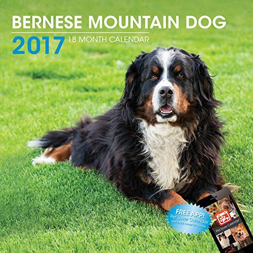 LittleGifts Bernese Mountain Dog 2017 Calendar (3048)