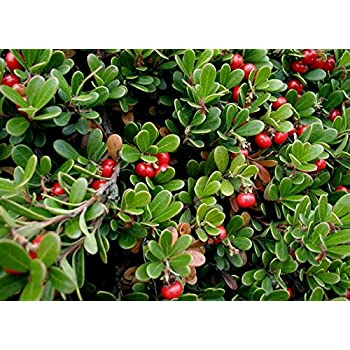 Massachusetts Bearberry Plant - Arctostaphylos - Medicinal/Herbal - 2.5