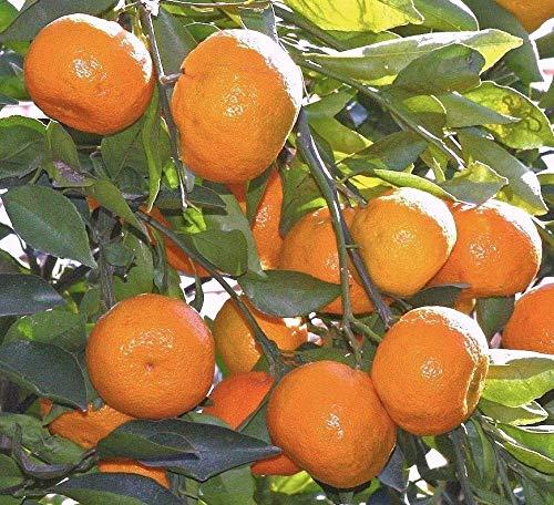 Satsuma Fruit Tree Real Live Plant Citrus 3''6''Seedling Mandarin Tangerine Orange