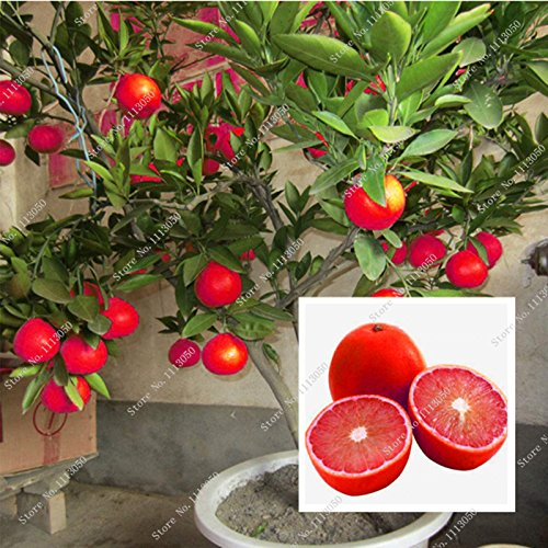 - 20 Pcs Red Lemon Seeds New Arrival Drawf Tree Bonsai Organic Fruit Seeds for Home Garden Supplies Easy Grow Exotic Seed Potted