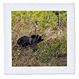 3dRose Mike Swindle Photography - Animals - Grizzly Bear watching - 12x12 inch quilt square (qs_280211_4)