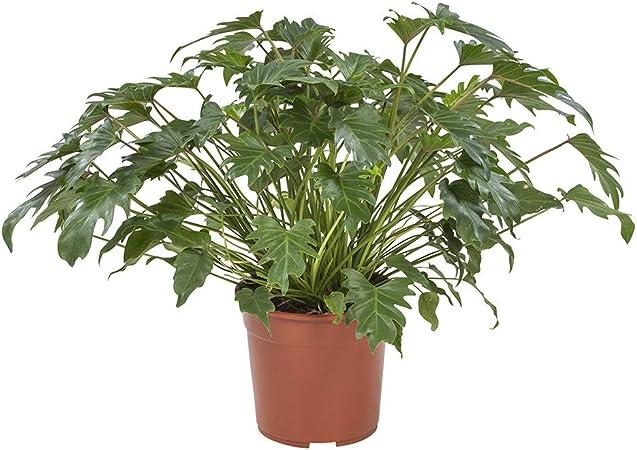 65 cm Philodendron artificiale decorazione per la casa