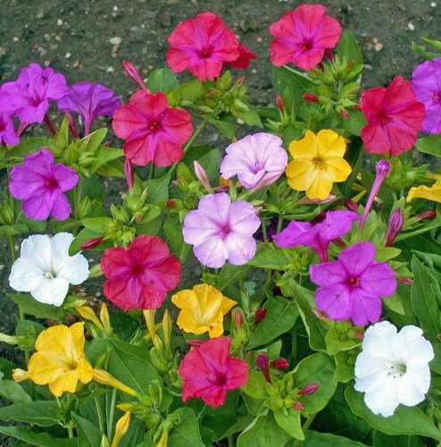 Non GMO Four O'Clock Mix Flower Seeds Mirabilis jalapa (1 Lb) by Dirt Goddess Super Seeds