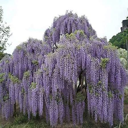 Amazon Com 10pcs Floribunda Chinese Wisteria Tree Vine Seeds