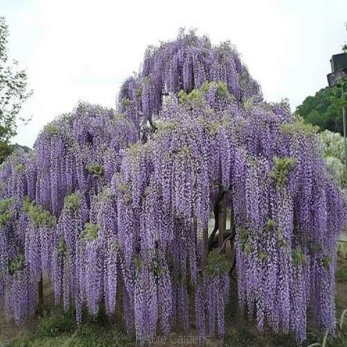 10PCS Floribunda Chinese Wisteria Tree Vine Seeds Flower Autumn Seed DIY (Fruit Gift Baskets Perth)