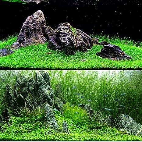 Aubess - Semillas de planta acuática para decoración de acuario y alimento para peces (césped corto)