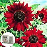 Sementes de flor, sementes de plantas, semente de girassol vermelha YanQxIzbiu 80 peças, decoração de jardim de plantas bonsa