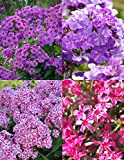 Tall Phlox Mix Value Bag-6 Roots/Plant Starts