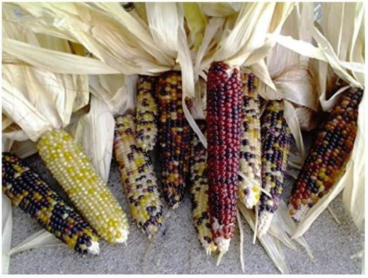 Mini Decorative Indian Corn 12 per order