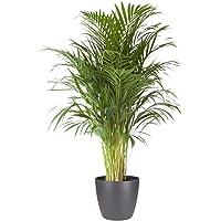 Planta de interior de Botanicly – Palma Areca en maceta antracita como un conjunto – Altura: 120 cm – Areca dypsis…