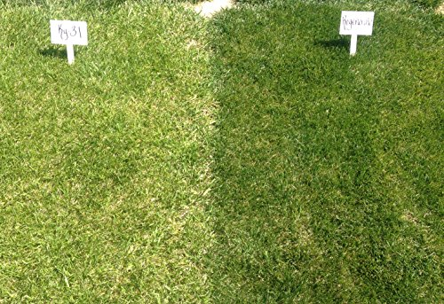 Kentucky 31 Tall Fescue - Regenerate Tall Fescue