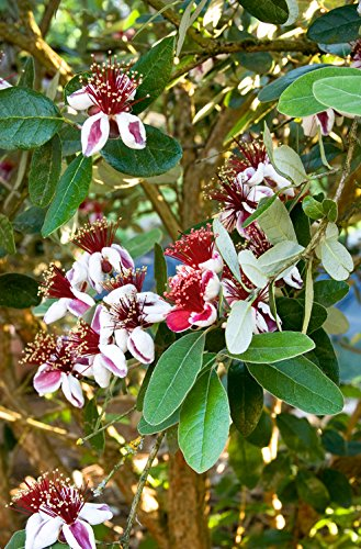 Pineapple Guava - Live Plant - Feijoa sellowiana - COLD HARDY EDIBLE by Natures Garden Nursery