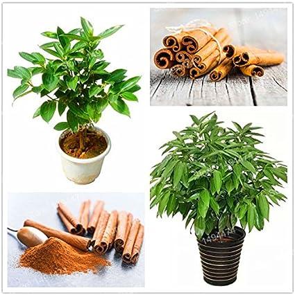 Chinamarket 10 Piezas Japonés Canela Semillas árboles Enanos Semillas Bonsai Semillas Jardín Y Exteriores