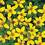 Park Seed Golden Eye Bidens Seeds