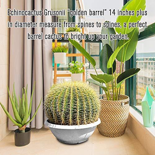 Golden Barrel' 14'' Plus Echinocactus Grusonii Cactus Specimen Very Large Drought Tolerant Plant by THE NEXT GARDENER (Image #4)