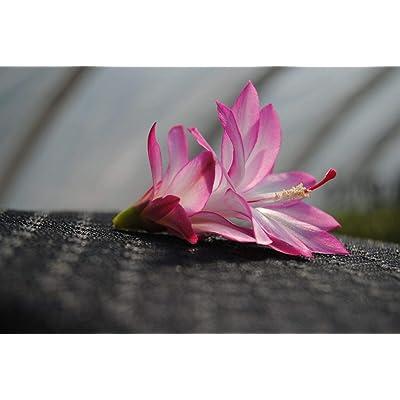 AchmadAnam Cactus Starter Plant ~Angel Wings~ Schlumbergera : Garden & Outdoor
