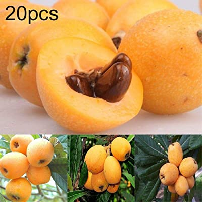 WskLinft 20Pcs Loquat Tree Seeds Moistening Lung Relieving Cough Fruit Garden Yard Plant for Indoor and Outdoor All Seeds are Heirloom, 100% Non-GMO! - Loquat Seed : Garden & Outdoor