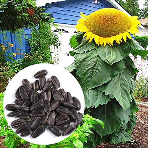 Iekofo Seed house - Mongolian Giant Sunflower Seeds Garden Sunflowers Autumn Magic Screen Protector Ornamental Plants Perennial Hardy for Garden Balcony/Terrace ()