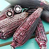 Sweet Corn Double Red USDA Certified Organic Vegetable Seed - 10,000 seeds