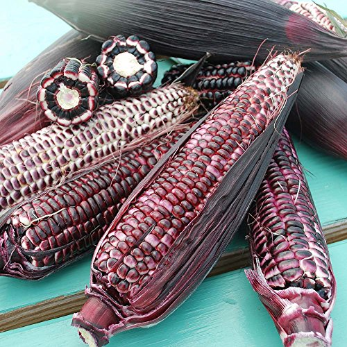 Sweet Corn Double Red USDA Certified Organic Vegetable Seed - 10,000 seeds by GardenTrends
