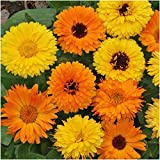 Package of 500 Seeds, Calendula Pacific Beauty Mixture (Calendula officinalis) Non-GMO Seeds by Seed Needs