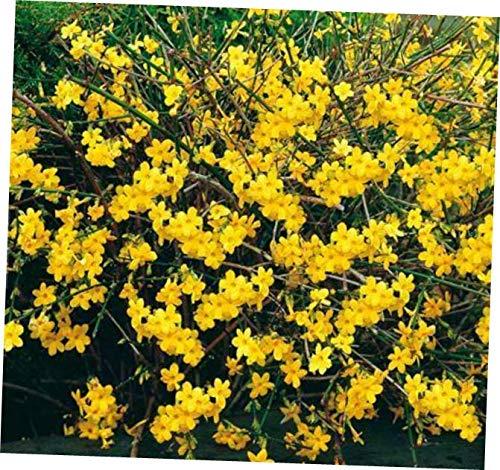 MONN Perennial Live Plant Hardy Winter Jasmine (Jasminum nudiflorum) Shrub Bare Root - -