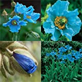 HEIRLOOM NON GMO Blue Himalayan Poppy 20 seeds